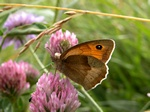 Meadow Brown (Maniola jurtina) photo