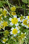 Meadow-foam (Limnanthes douglasii) photo