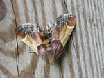 Meal Moth (Pyralis farinalis) photo