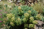 Mediterranean Spurge (Euphorbia characias) photo