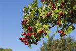 Midland Hawthorn (Crataegus laevigata) photo