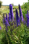 Monkshood (Aconitum napellus ssp. lusitanicum) photo