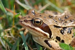Moor Frog, Swedish Swamp Frog (Rana arvalis) photo