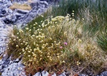 Mossy Saxifrage, Dovedale Moss (Saxifraga hypnoides) photo