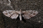 Mottled pug (Eupithecia exiguata) photo