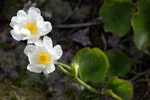 Mount Cook Lily, Mount Cook Buttercup, Mountain Buttercup (Ranunculus lyallii) photo