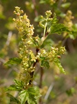 Mountain Currant (Ribes alpinum) photo