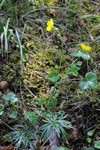 Multiflowered Buttercup (Ranunculus polyanthemos ssp. polyanthemos) photo