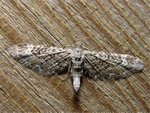 Narrow-winged Pug (Eupithecia nanata) photo