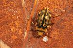 Nebrioporus depressus photo