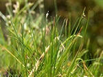 Needle Spike-Rush (Eleocharis acicularis) photo