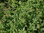 Nettle-Leaved Goosefoot (Chenopodiastrum murale) photo