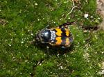 Nicrophorus vespillo photo