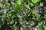 Northern Dead-Nettle (Lamium confertum) photo