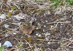 Northern Wall Brown (Lasiommata petropolitana) photo