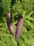 Norway Spruce (Picea abies) photo
