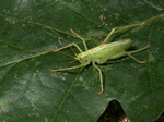 Oak Bush-cricket (Meconema thalassinum) photo