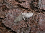 Ochreous Pug (Eupithecia indigata) photo