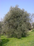 Olive (Olea europaea) photo