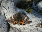 Orange Underwing (Archiearis parthenias) photo