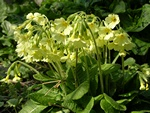Oxlip (Primula elatior) photo