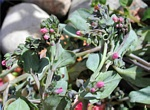 Oysterplant, Sea Lungwort (Mertensia maritima) photo