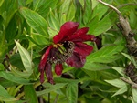 Paeonia delavayi photo