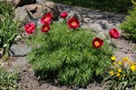 Paeonia tenuifolia photo