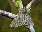 Pale Brindled Beauty (Apocheima pilosaria) photo