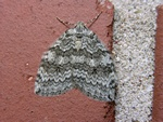 Pale November Moth (Epirrita christyi) photo