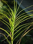 Palm sedge (Carex muskingumensis) photo