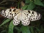 Paper Kite (Idea leuconoe) photo