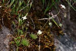 Pearlwort Spurrey (Spergula morisonii) photo