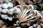 Pearly Parachute (Marasmius wynnei) photo