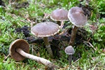Pelargonium Webcap (Cortinarius paleaceus) photo