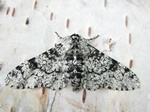 Peppered Moth (Biston betularia) photo