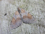 Pine Carpet (Thera firmata) photo