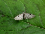 Pinion-spotted Pug (Eupithecia insigniata) photo