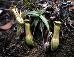 Pitcher Plant (Nepenthes gracilis) photo