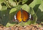 Plain Tiger, African monarch (Danaus chrysippus) photo