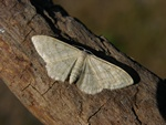 Plain Wave (Idaea straminata) photo