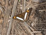 Pointed Sister (Adelpha iphiclus) photo