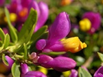 Polygala chamaebuxus (multicolor) photo