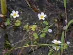 Pond Water Crowfoot (Ranunculus peltatus ssp. peltatus) photo