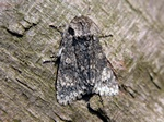 Poplar Grey (Acronicta megacephala) photo