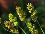 Prickly Sedge (Carex pairae) photo