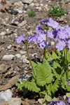 Primula sieboldii photo