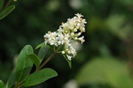 Privet (Ligustrum vulgare) photo