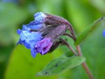 Pulmonaria angustifolia photo