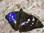 Purple Emperor (Apatura iris) photo